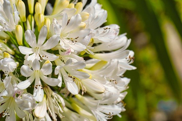 African Lily Flowers Plant  - mfuente / Pixabay